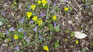 Crocus and Aconites on March Bank