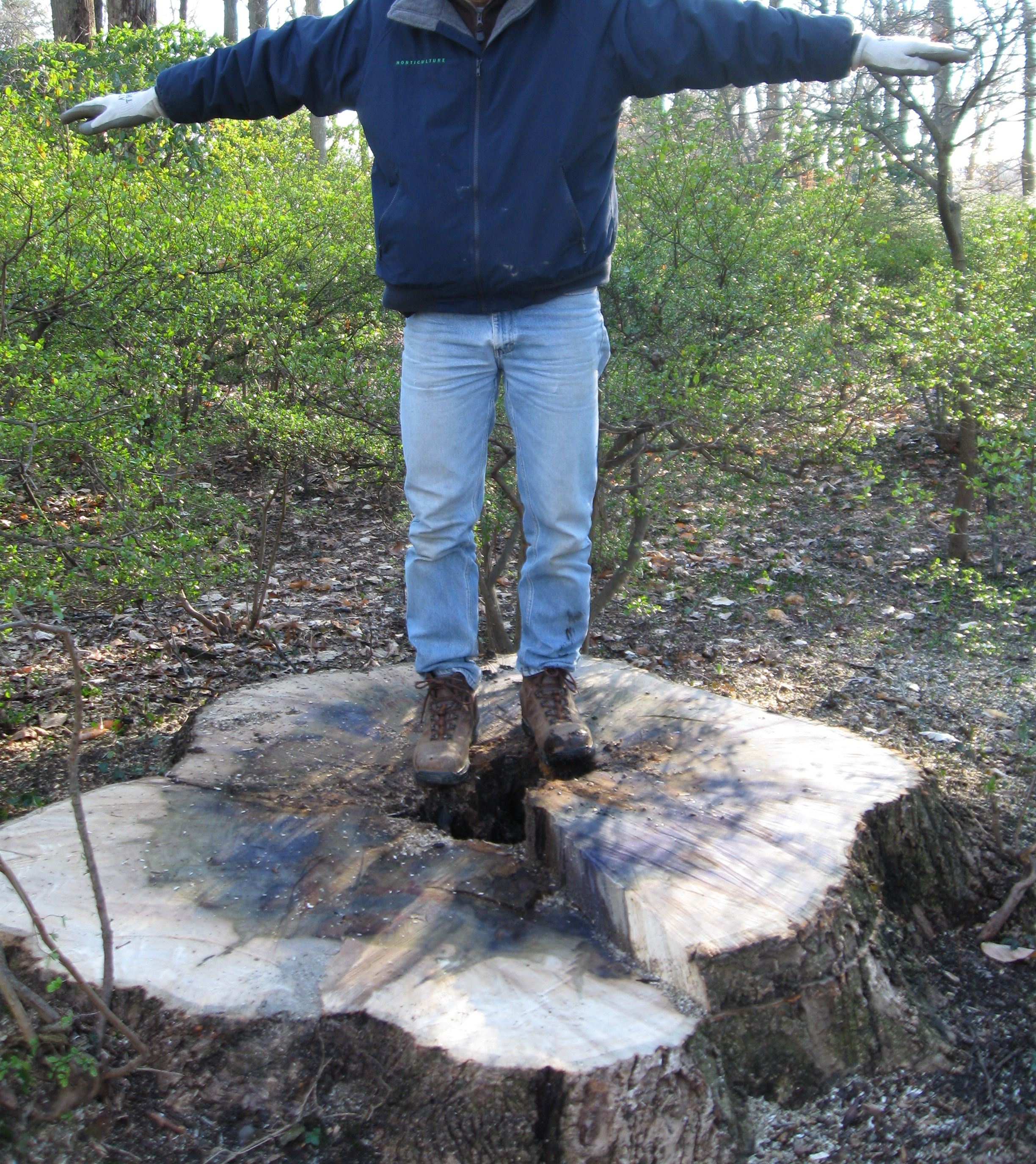 Stump of tulip poplar