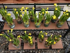 Tete a tete daffodils in store March 2013