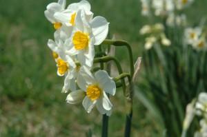 daffodils 4-15-11 LE 036