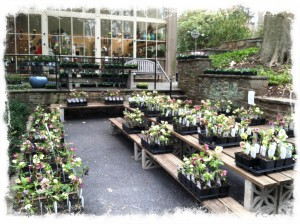 Hellebore Sale from Pine Knot Farms all weekend!