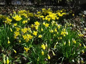 Daffodils near GRA 4.2.2013 kls DSC00013