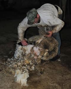 SheepShearing4
