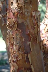 10-8 Acer griseum 9_21_2010 LE 001