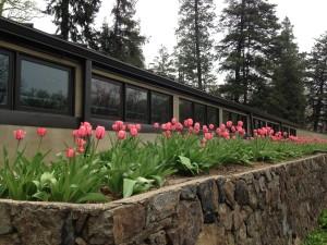 tulips 4.22.2014 kls