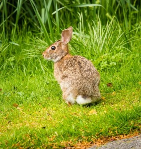 DSC_9325 rabbit compressed