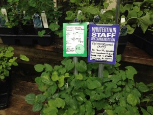 plant pick 5.27.2014 epimedium