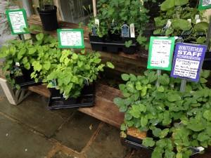 plant pick 5.27.2014 epimedium a