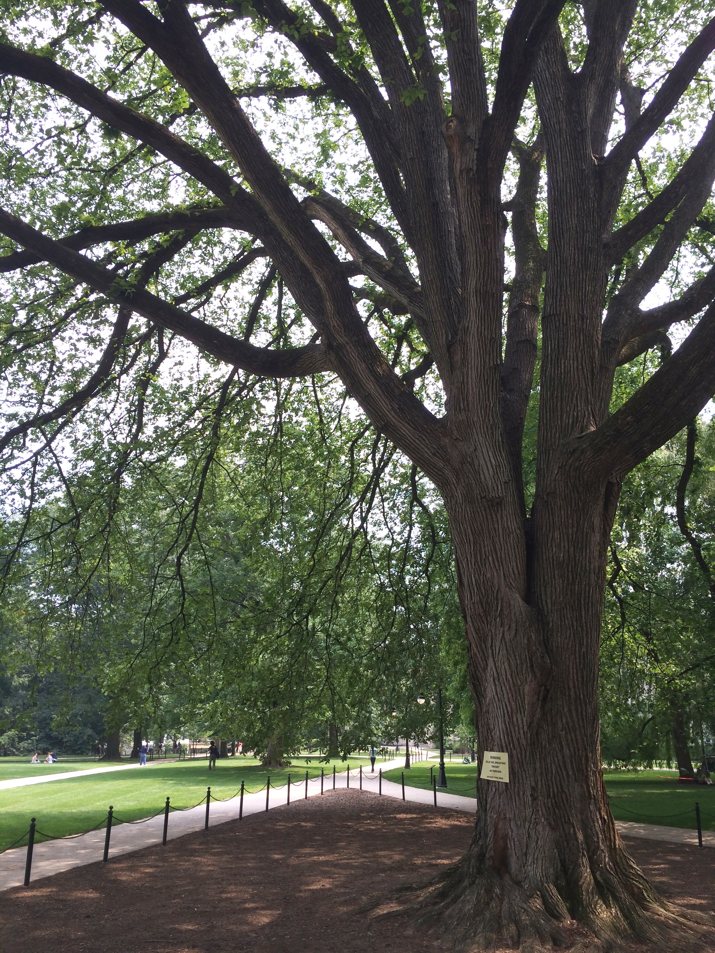 Prized Elm On Old Main, Penn State Campus