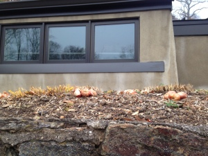 11.18.2014 pink impression tulip bulbs and rock wall kls