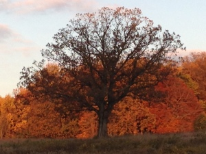 Oak near Magnolia Bend on 10.30.14 about 6:00pm