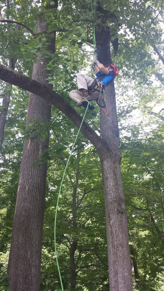 Tree climbing demonstration with one of Winterthur's full-time arborists