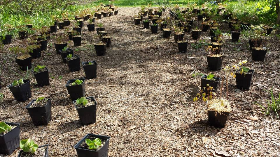 Woodland perennials staged and ready to plant!