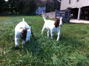7-22 meet the goats