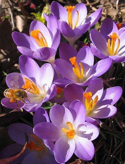 Honeybee on Crocus. Photo Credit: John Kovasckitz