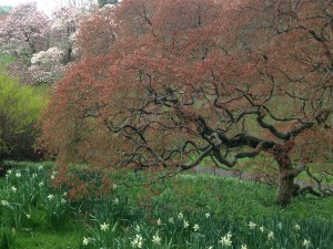 Japanese Maple at Magnolia Bend with Daffodils