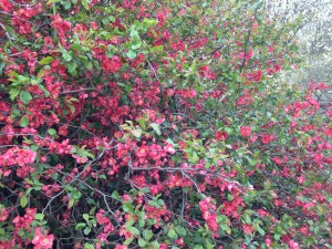 Flowering Quince in Pinetum