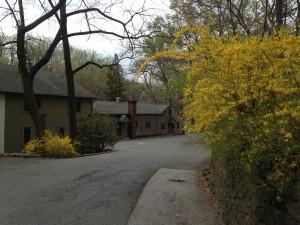 Forsythia near Coach House