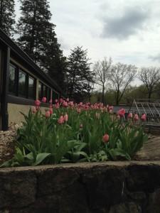 Tulips near BHLC