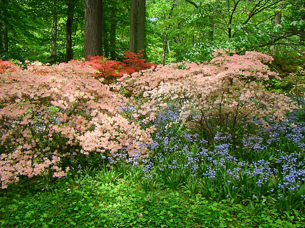 Azalea and bluebell combination in Azalea Woods