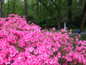 Pink Azaleas in upper Peony Garden