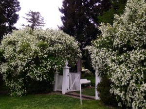 Pearl Bushes in full bloom at Latimeria Gates (entrance to Pinetum along Garden Lane)