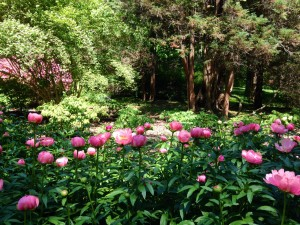The Peony Garden is in full bloom right now!