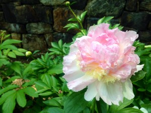 Peony in full bloom in lower peony garden