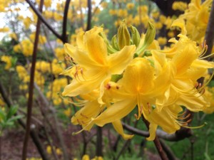Rhododendron 'Luteum' in Pinetum