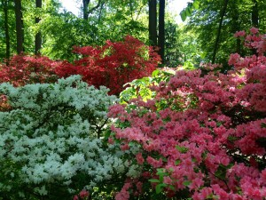 Azaleas near Enchanted Woods