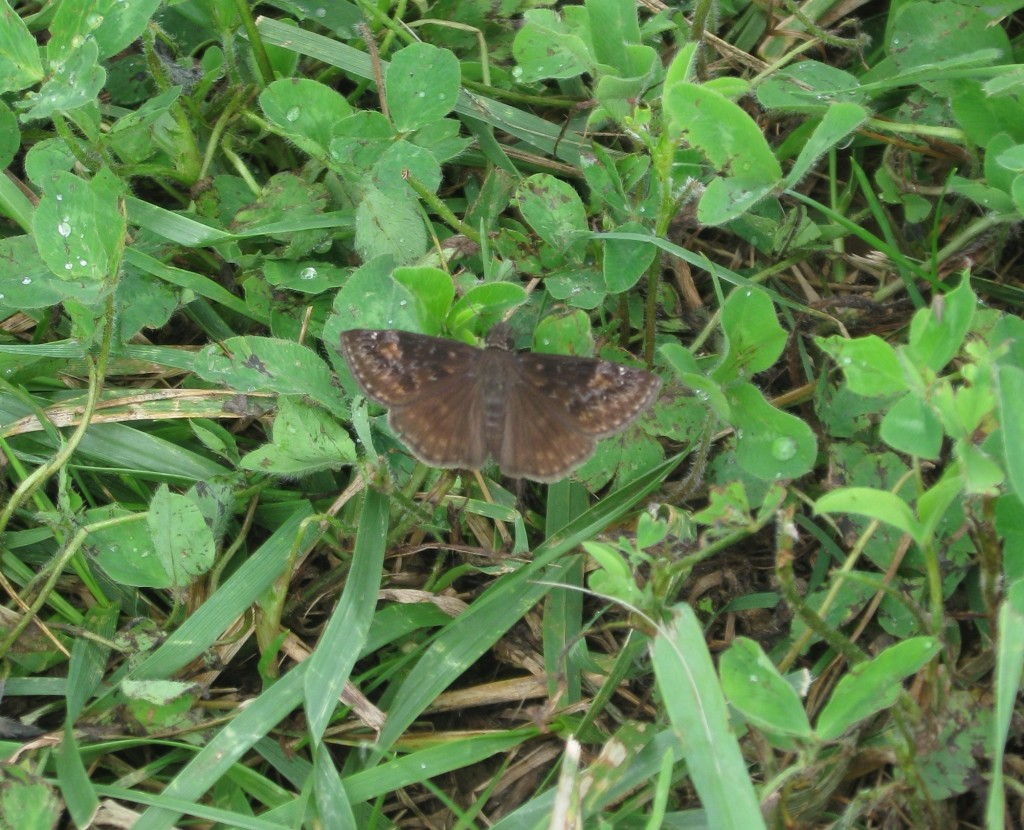 I'll Take a Stab at it; Horace's Duskywing Butterfly?