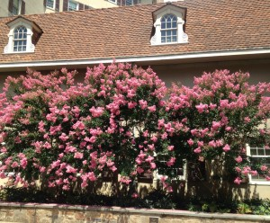 Crape myrtles near Dorrance Galley