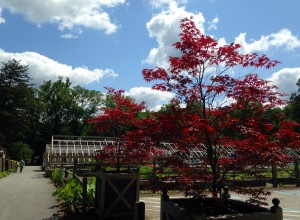 Red maples in containers by Brown Horticulture Center