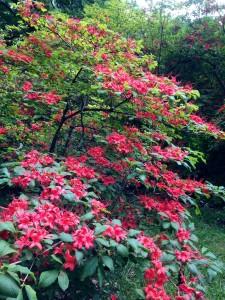 Plum-leaf Azalea near Quarry Garden