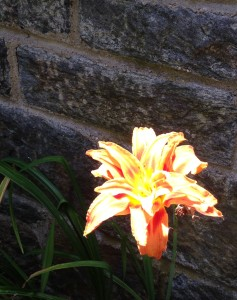 A beautiful day lily near Reflecting Pool bath house.