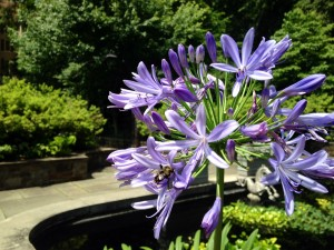 A very happy bee lives here...agapanthus in containers around the Reflecting Pool