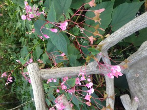 Hardy Begonia in Enchanted Woods. Look at all those seeds for next year's flowers!