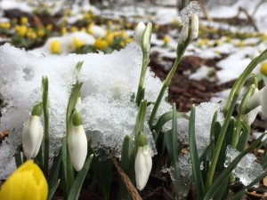 Snowdrops and Winter Aconites