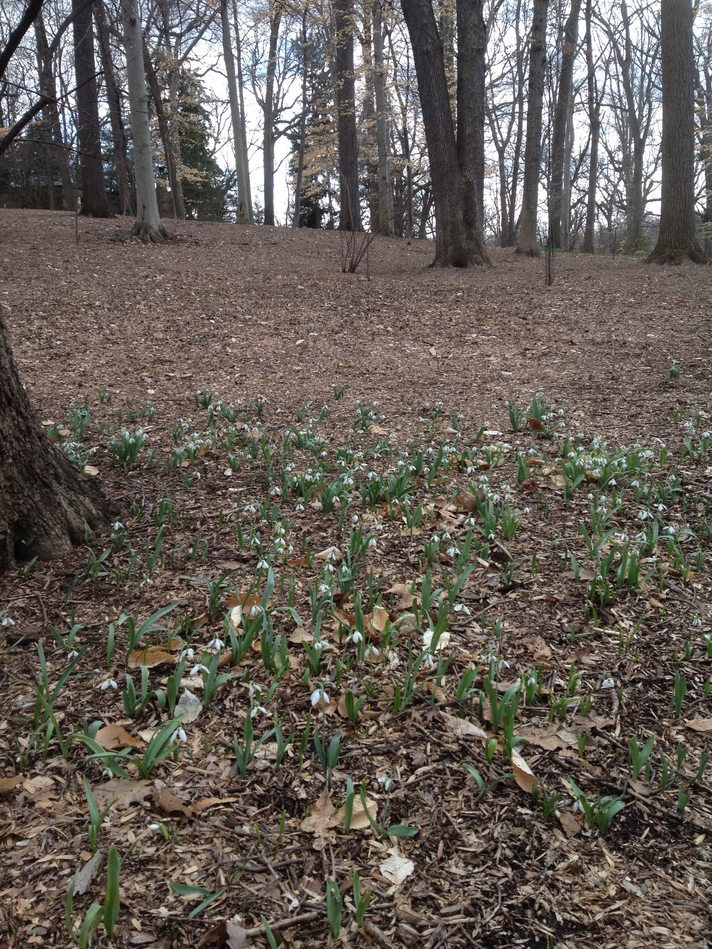 Galanthus at the back of Azalea Woods. The start of a new March Bank?