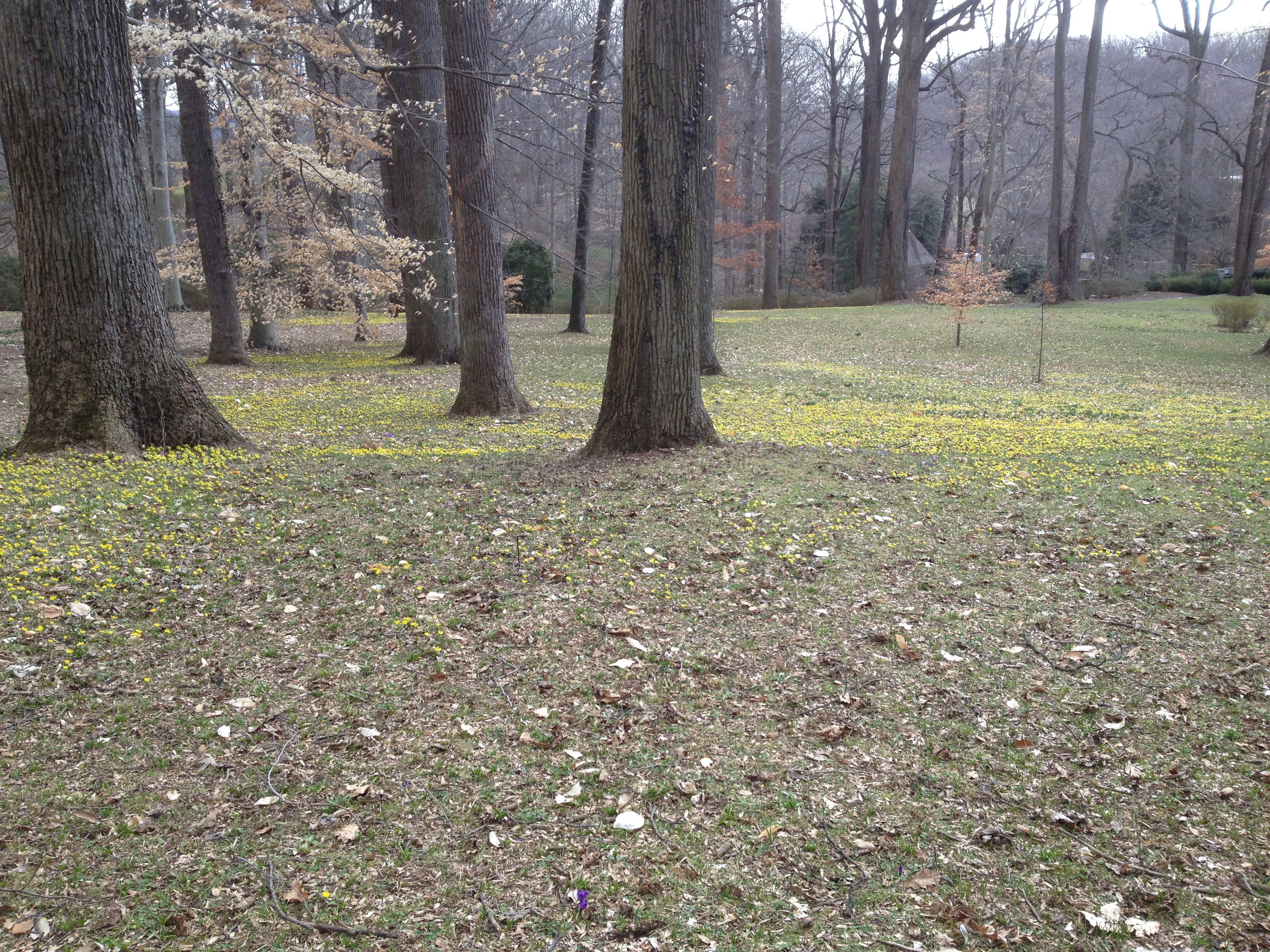 Eranthis hyemalis lighting up the lawn by the March Bank
