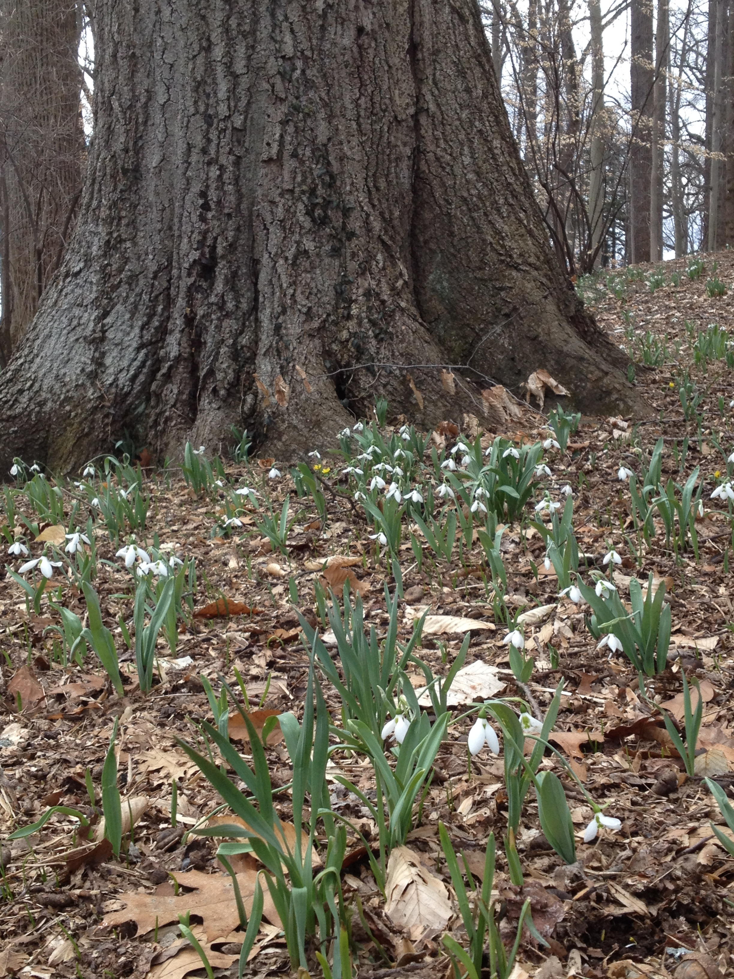 Tree trunk and snowdrop; a lesson in scale
