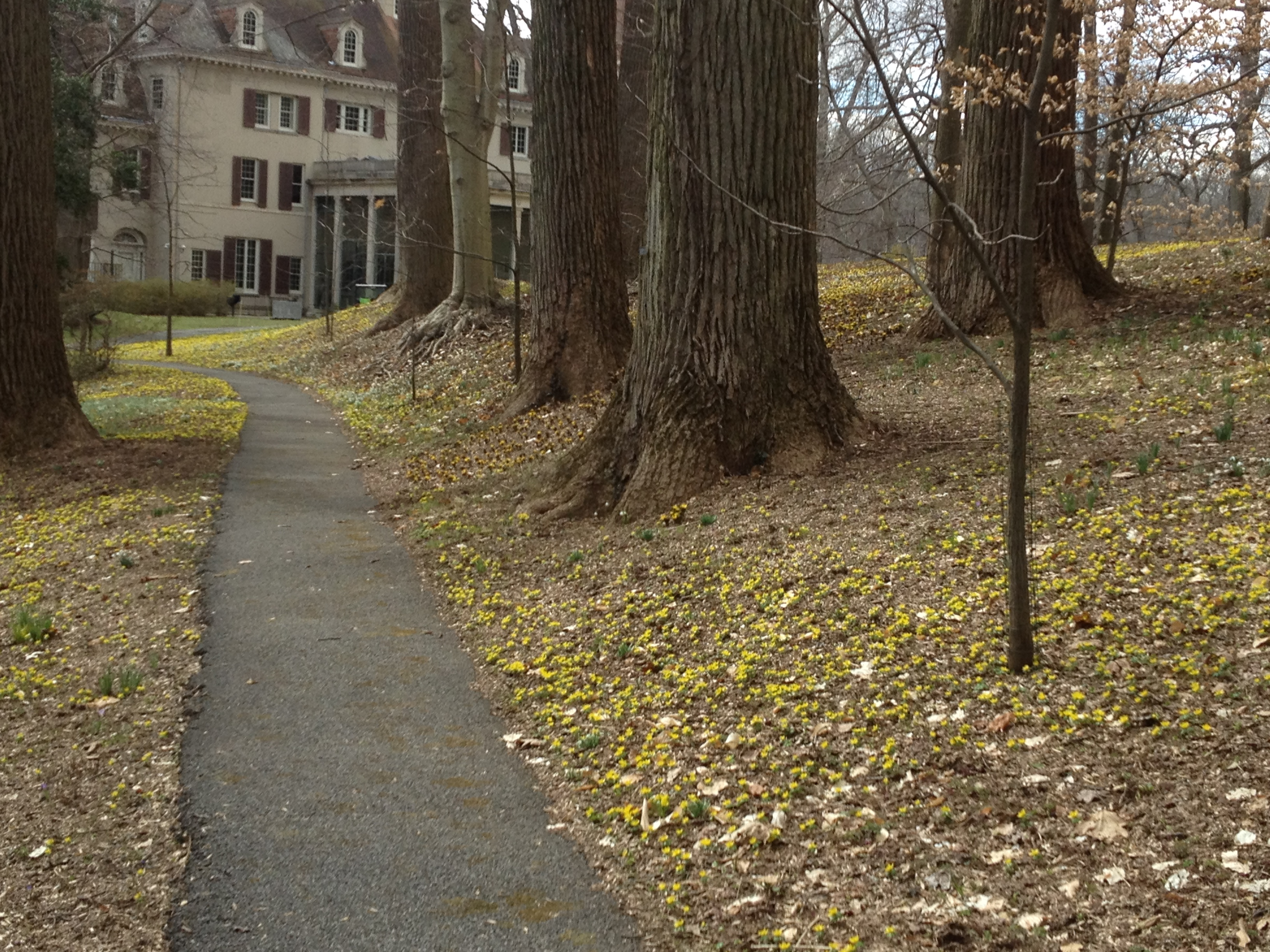Eranthis along March Walk looking toward the museum