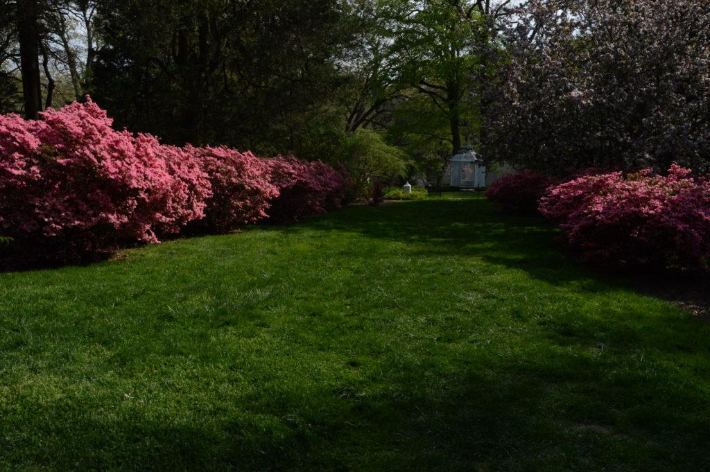 Kurume azaleas in the Upper Peony Garden