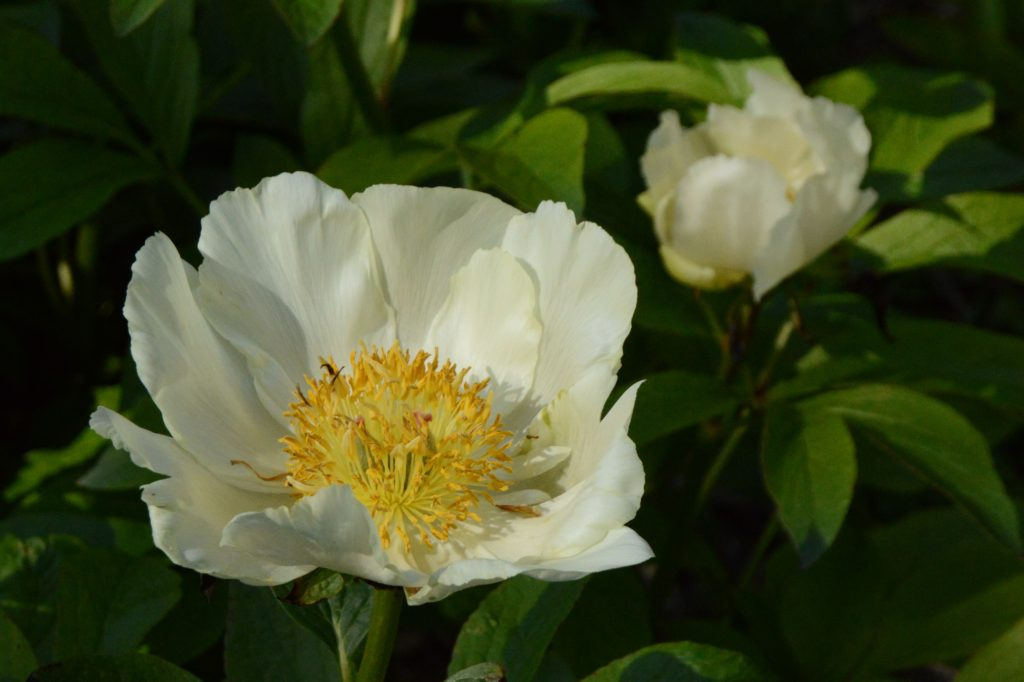 Single white herbaceous peony (Paeonia cv.)