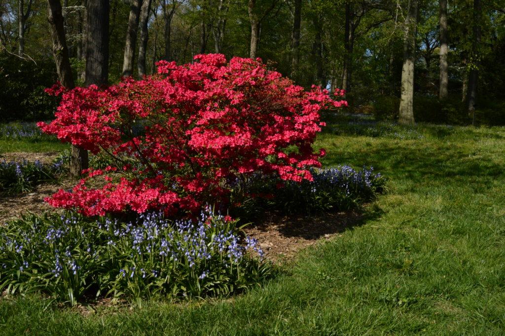 Kurume hybrid azalea (Rhododendron 'Hinodegiri') underplanted with Spanish bluebells (Hyacinthoides hispanica)
