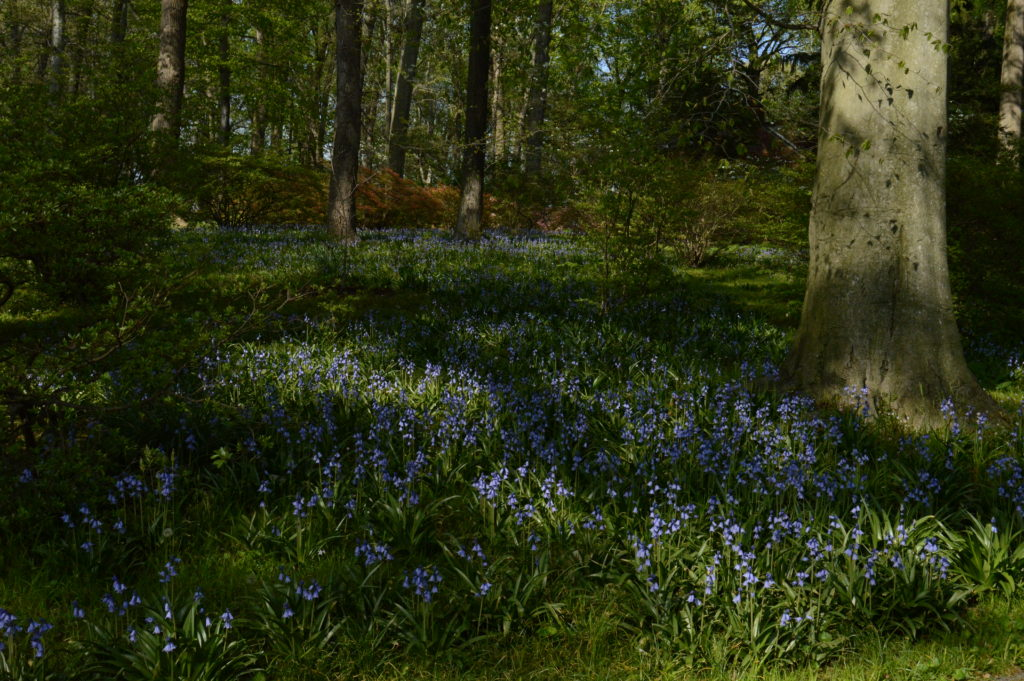 Nearby, a sea of Spanish bluebells rolls towards Azalea Woods