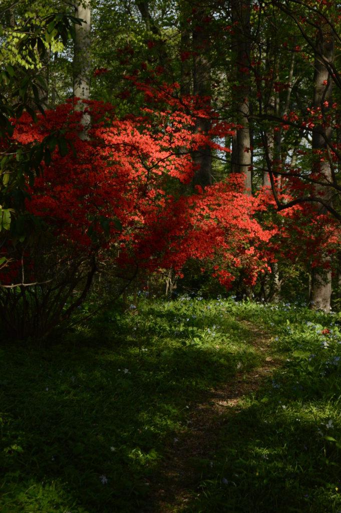 Torch azalea (Rhododendron kaempferi)