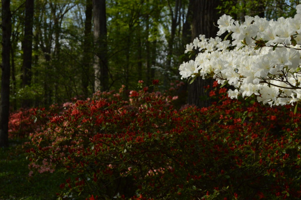 A tapestry of color in Azalea Woods