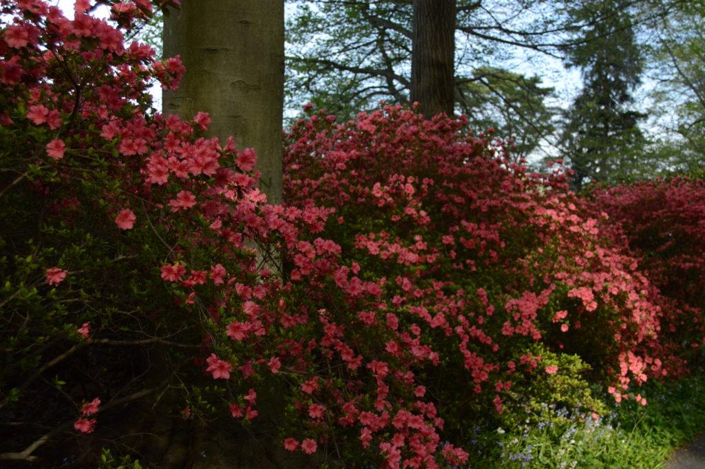 Kurume hybrid azalea (Rhododendron #10)