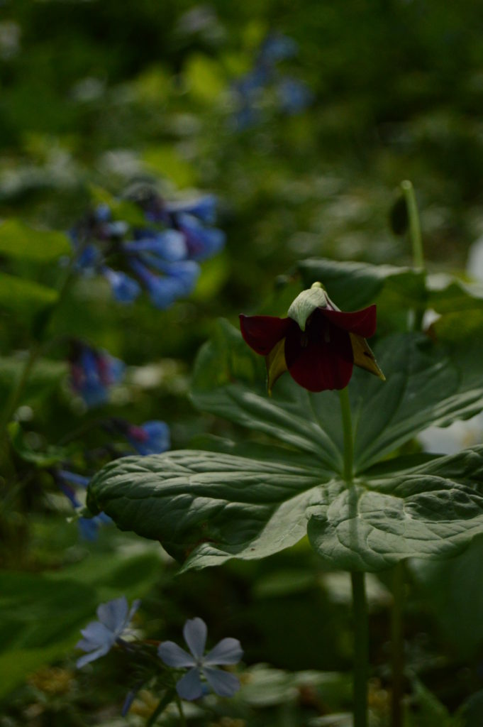 Southern red trillium (Trillium sulcatum) with Virginia bluebells and woodland phlox